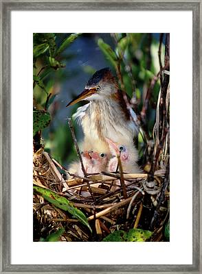 Usa, Florida Least Bittern Parent Framed Print by Jaynes Gallery