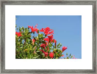 Usa, Florida, New Smyrna Beach, Hibiscus Framed Print by Lisa S. Engelbrecht