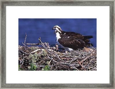 Usa, Florida Osprey And Chicks In Nest Framed Print
