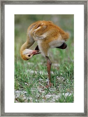 Usa, Florida Sandhill Crane Chick Framed Print