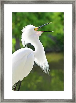 Usa, Florida Snowy Egret (egretta Thula Framed Print