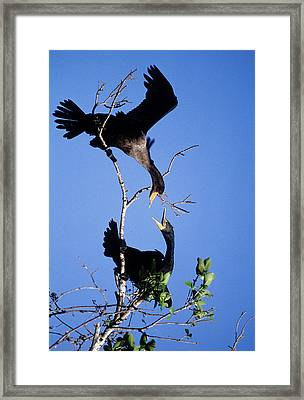Usa, Florida Two Double-crested Framed Print by Jaynes Gallery