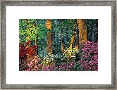 Usa, Georgia, Callaway Gardens, Azalea Framed Print