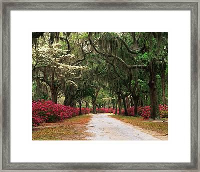 Usa, Georgia, Savannah, Road Lined Framed Print by Adam Jones