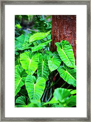 Usa, Hawaii, Oahu, Philodendrons Framed Print
