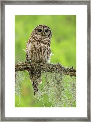 Usa, Louisiana Barred Owl On Tree Limb Framed Print
