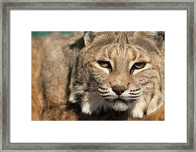 Usa, Lynx, New Mexico Framed Print