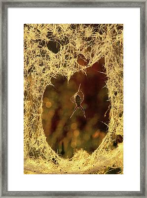 Usa, Michigan, Black-and-yellow Argiope Framed Print by Jaynes Gallery
