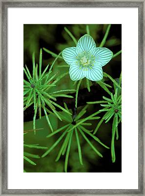 Usa, Michigan, Grass Of Parnassus Framed Print by Jaynes Gallery
