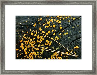 Usa, Michigan White Pine Needle Cluster Framed Print by Jaynes Gallery