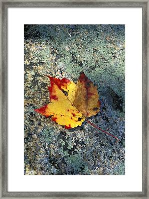 Usa, New Hampshire, Maple Leaf On Framed Print by Chris Coe
