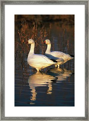 Usa, New Mexico, Bosque Del Apache Framed Print by Hugh Rose