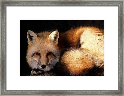 Usa, New Mexico, Red Fox Framed Print by Gerry Reynolds