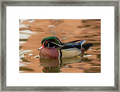 Usa, New Mexico Wood Duck Swimming Framed Print by Jaynes Gallery