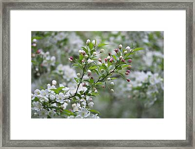 Usa, Ohio Cherry Blossom Branch Framed Print by Jaynes Gallery