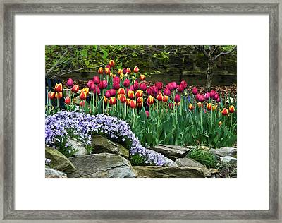 Usa, Ohio Tulips And Phlox Framed Print by Jaynes Gallery