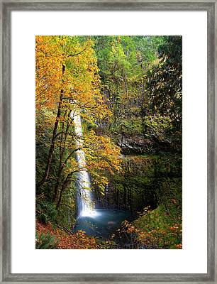 Usa, Oregon A Bigleaf Maple (acer Framed Print