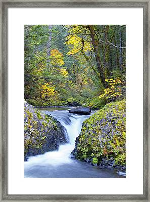 Usa, Oregon Bigleaf Maple (acer Framed Print