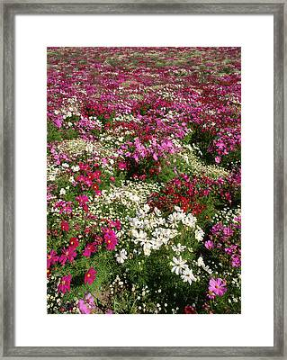 Usa, Oregon, Cosmos Flower Framed Print by Stuart Westmorland