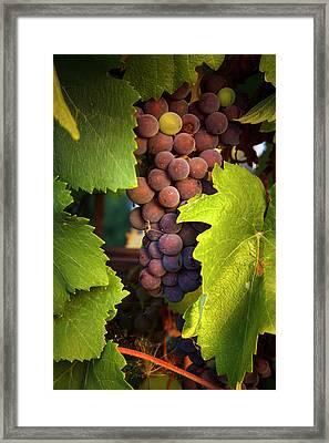 Usa, Oregon, Keizer, Pinot Gris Grapes Framed Print