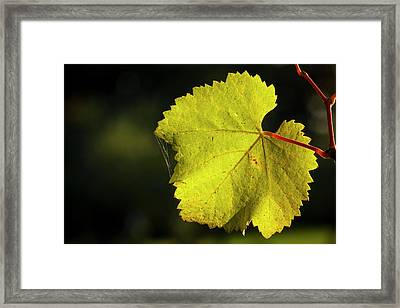 Usa, Oregon, Keizer, Pinot Gris Leaf Framed Print by Rick A Brown
