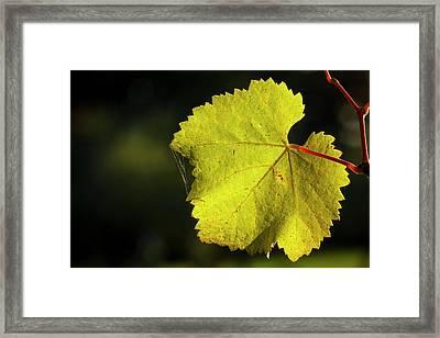Usa, Oregon, Keizer, Pinot Gris Leaf Framed Print