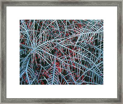 Usa, Oregon, Portland, Cotoneaster Framed Print