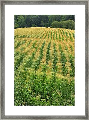Usa, Oregon Rows Of Corn On Sauvie Framed Print by Jaynes Gallery