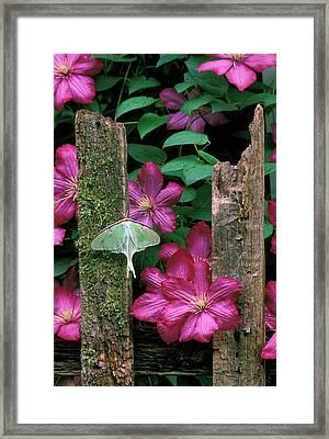 Usa, Pennsylvania, Luna Moth On Fence Framed Print