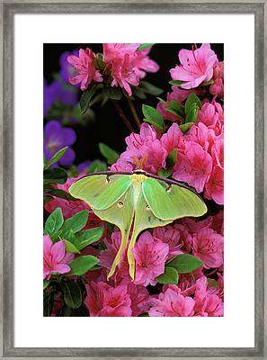 Usa, Pennsylvania, Luna Moth On Pink Framed Print