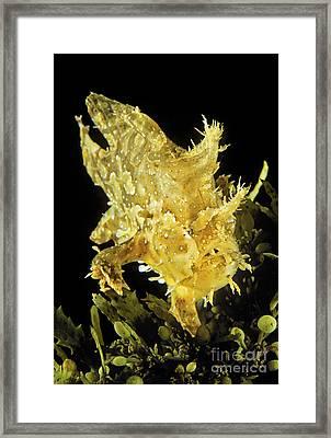 Usa, Sargasumfish _histiro Histiro_ On Floating Sargasum Weed In Pacific Ocean_ Hawaii Framed Print by Dave Fleetham