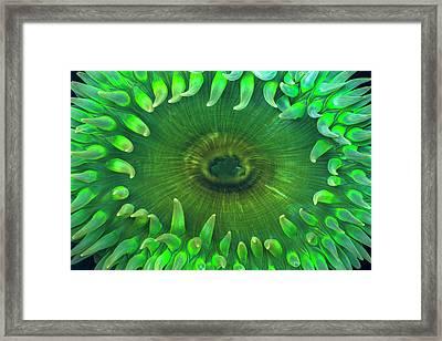 Usa, Washington Close-up Of Sea Anemone Framed Print by Jaynes Gallery