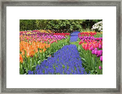 Usa, Washington Garden With Tulips Framed Print by Jaynes Gallery