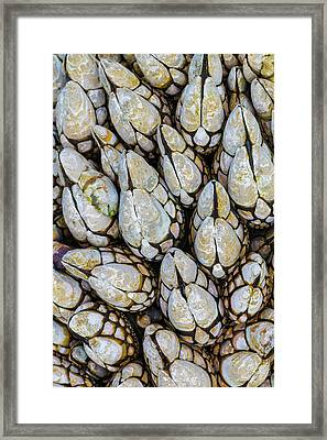Usa, Washington Goose Barnacles In Salt Framed Print by Jaynes Gallery