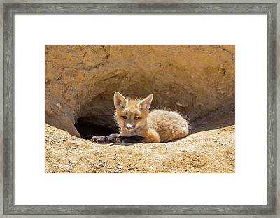 Usa, Wyoming, Lincoln County, A Red Fox Framed Print