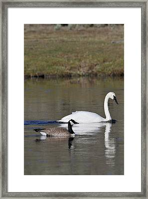 Usa, Wyoming, Trumpeter Swan, Canada Framed Print by Gerry Reynolds