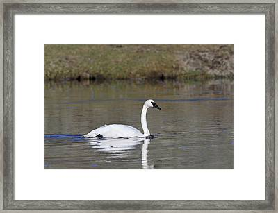 Usa, Wyoming, Trumpeter Swan Framed Print