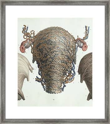 Uterus At Full Term Framed Print by Science Photo Library