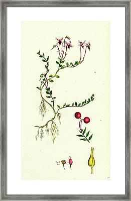 Vaccinium Oxycoccos Marsh Cranberry Framed Print by English School