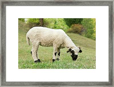 Valais Blacknose Sheep Grazing Framed Print by Bob Gibbons