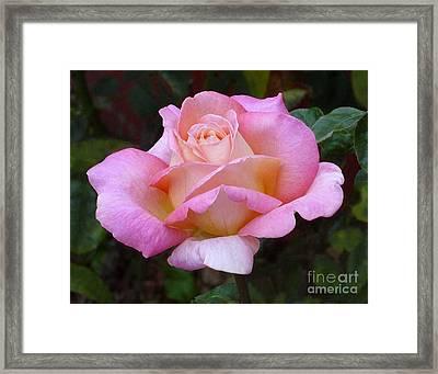 Valentine Pink Rose Framed Print
