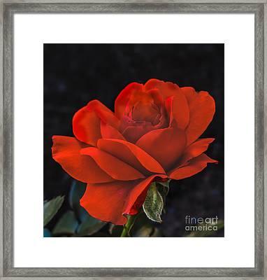 Valentine Rose Framed Print by Robert Bales
