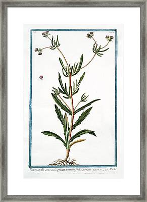 Valerianella Arvensis Framed Print by Rare Book Division/new York Public Library