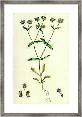 Valerianella Carinata Carinated Lambs-lettuce Framed Print by English School
