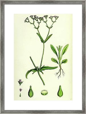 Valerianella Dentata Narrow-fruited Lambs-lettuce Framed Print by English School