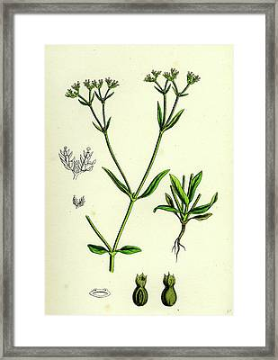 Valerianella Eriocarpa Hairy-fruited Lambs-lettuce Framed Print by English School