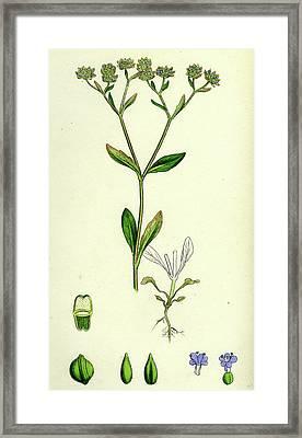 Valerianella Olitoria Common Lambs-lettuce Framed Print by English School