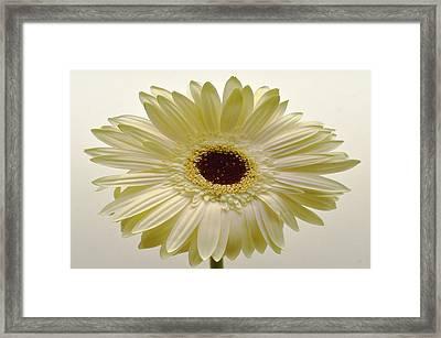 Vanilla Bean Zinnia Framed Print by Sherry Allen