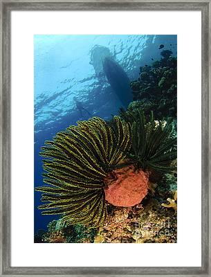 Variable Bushy Feather Star, Gorontalo Framed Print by Steve Jones