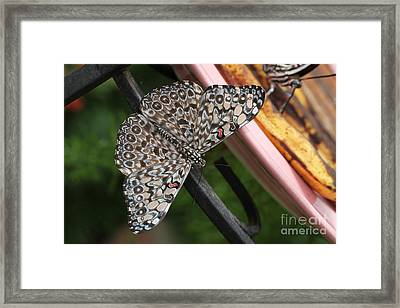 Framed Print featuring the photograph Variable Craker Butterfly #2 by Judy Whitton